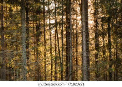 Tree trunks in a coniferous forest with orange colored background