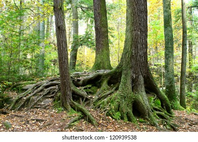 Tree Trunks And Exposed Roots Above Ground During Autumn At Old Man's Cave State Park, Hocking Hills Region, Central Ohio, USA