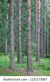 Tree trunks in forest in Finland