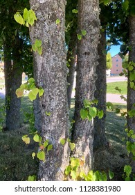Tree trunks with leaves growing out from the trunk, with building in background.