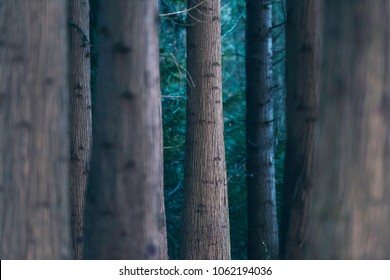 Tree trunks in pine forest. Selective focus.