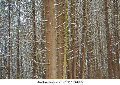 Tree trunks with snow backgrounds