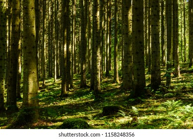 Tree trunks in a spruce forest.