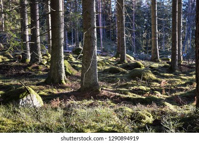 Tree trunks in a sunlit mossy coniferous forest