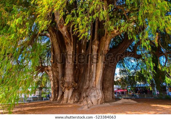 El Árbol de Tule (El Arbol de Tule), Montezuma cypress o ahuehuete en Nahuatl. Patrimonio Mundial de la UNESCO
