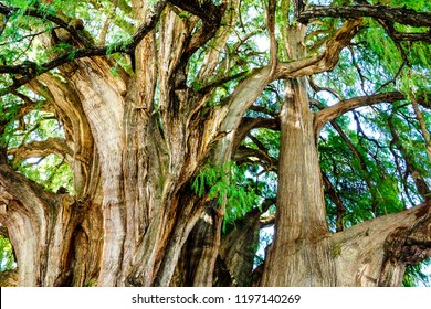 """The Tree of Tule. (""""El Árbol del Tule"""" in Spanish) is a tree located in the town center of Santa María del Tule in the Mexican state of Oaxaca.It has the stoutest trunk of any tree in the world."""