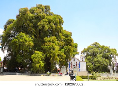 Tree of Tule (Montezuma cypress tree), said to be the oldest and largest tree in the world, over 2000 years old, and Iglesia church, Santa Maria del Tule, Oaxaca, Mexico. UNESCO world heritage site