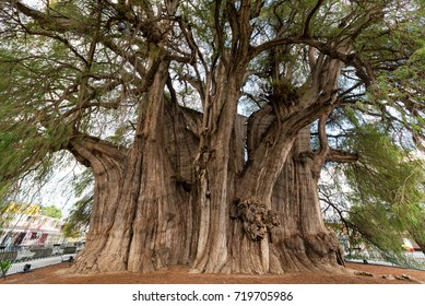 Tree of Tule, said to be the largest tree in the world near Oaxaca, Mexico