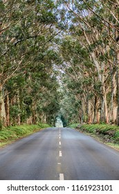 The Tree Tunnel is a long row of Eucalyptus trees that line the first mile of Maliuhi Road and that create a natural gateway to the South Shore of Kauai.