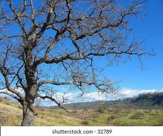 Tree in Upper Bidwell Park, Chico, CA
