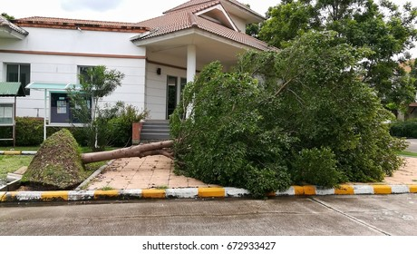Tree uprooted after storm. Falling big tree from strong wind.