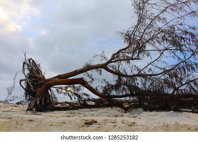 A tree uprooted by a hurricane in a Caribbean island, Long Island, Bahamas