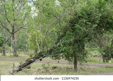 Tree uprooted by strong winds