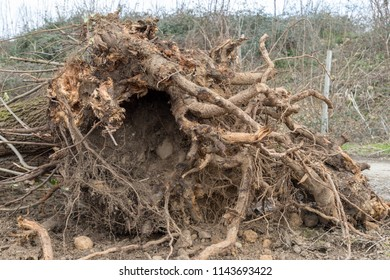 A tree uprooted by the wind, fallen to the ground and with its roots uncovered