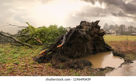 Tree Uprooted in Storm by Rain Earth Roots Wind
