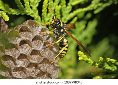 Tree wasp or paper wasp on its nest and building it very close up in Italy Latin name polistes gallicus or dolichovespula sylvestris its honeycomb eye clearly visible and the umbrella nest very clear