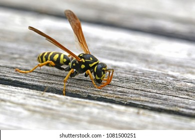 Tree wasp, or paper wasp very close up stripping wood from garden furniture to build a nest Latin name dolichovespula sylvestris or polistes gallicus taken in Italy