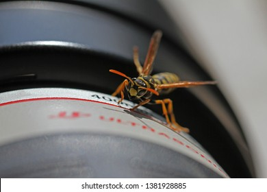 Tree wasp, or paper wasp very close up Latin name dolichovespula sylvestris or polistes gallicus crawling on a camera lens surface in March in Italy by Ruth Swan