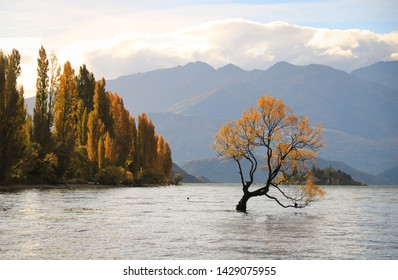 The tree which is a symbol of Wanaka, New Zealand