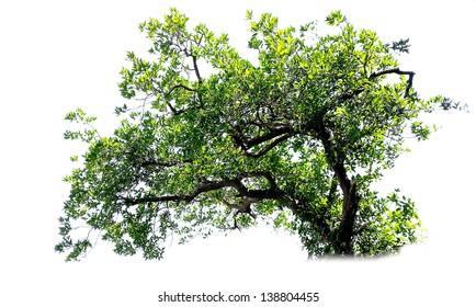 Tree white background