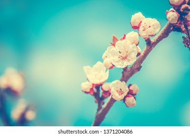 Tree white flower blossom in spring time. Nature floral background.