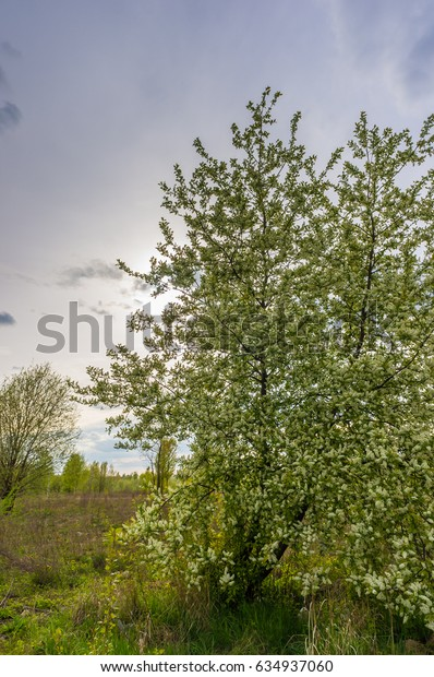 Tree with white flowers on a cloudy day