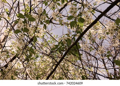 tree with white flowers in the spring on the light background, note shallow dept of field
