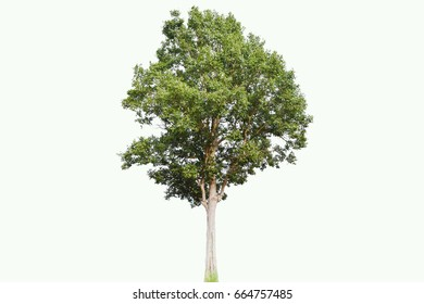 tree in white isolated