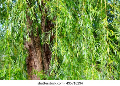 Tree, Willow Tree, Close up, Nature, Leaves, Green, Bark, Wallpaper, Abstract, Trees, Willow, Mature, Old