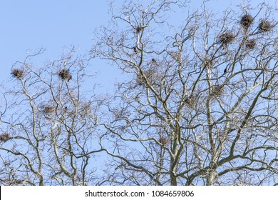 Tree in winter with crow nests in front of a blue sky