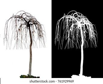 tree without foliage on white background with alpha channel