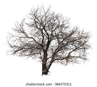 Tree without leaves, isolated on white