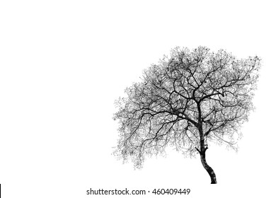 Tree without leaves on white background, black and white tone.
