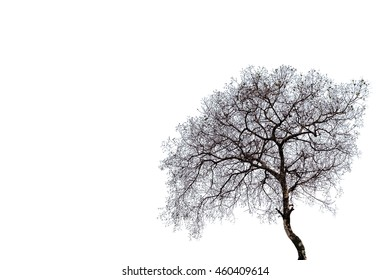 Tree without leaves on white background