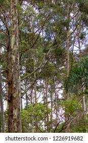 Tree Wood eucalyptus florest