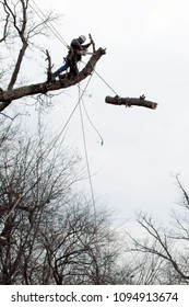 A tree worker has a dangerous job removing large trees, but they work with safety gear and take the limbs down piece by piece.