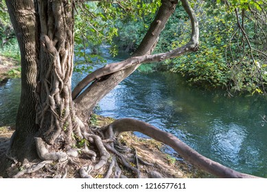 A tree wrapped in a vine near a mountain river in a national park near the town of Skradin, Croatia