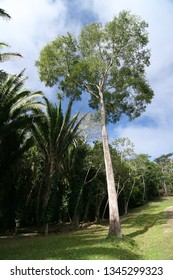 Tree in Xunantunich -Mayan Ruin in Belize