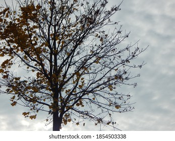 Tree with yeallow leaves towards the gloomy autumn sky