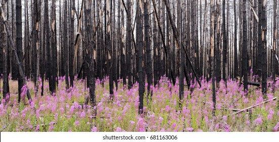 Tree year after a big fire in Sweden with willow-herb in the front