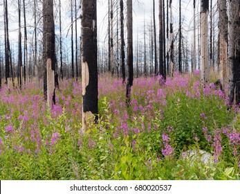 Tree year after a big forest fire in Sweden with lot of Willow-herb plants
