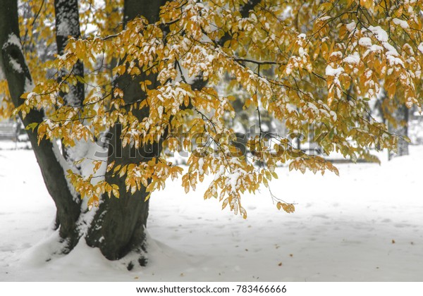 A tree with yellow autumn trees covered with deep unexpected snow. Riga, Latvia