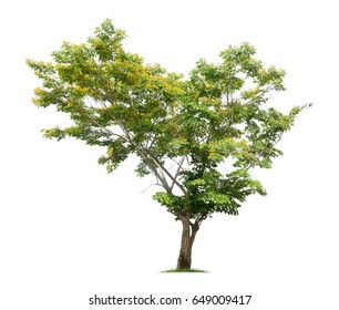 Tree with yellow flower isolated on white background