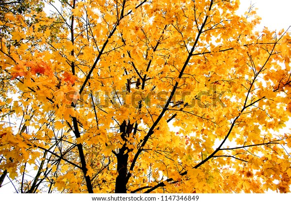 Tree with yellow leaves in the fall