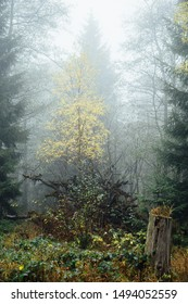 A tree with yellow leaves is shown in the fog light , Portrait