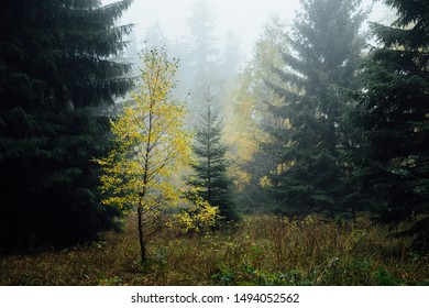 A tree with yellow leaves is shown in the fog light
