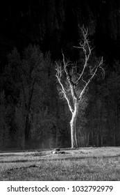 Tree in Yosemite Valey in Black and white