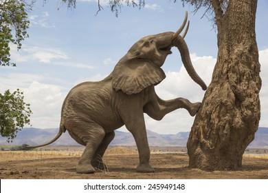 Tree-climbing African Elephant bull in Mana Pools, Zimbabwe