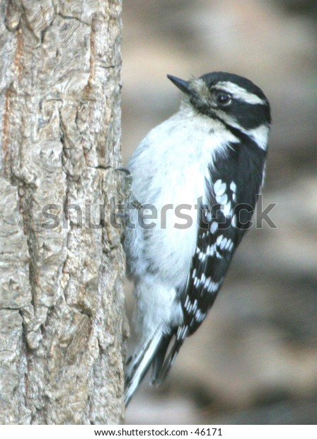 (Tree-clinging Birds) Downy Woodpecker (male) (Picoides pubescens)