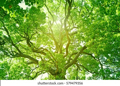 Tree,forest, Camphor, ecology image